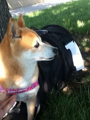 travel rescue airport kiyomi shibainu shiba adopt puppymill