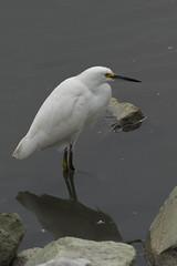 SMCPF*300MMF4.5+1.4XTCTAMRON-SNOWYEGRET4-1 (Palenquero) Tags: bird nature pentax f45 300mm