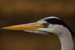 DSC00708 - Grey Heron (steve R J) Tags: park london heron birds grey explore british regents