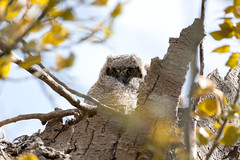 Having a hoot hiding_2429 (Mike Head - Jetwashphotos (Up & Away)) Tags: canada silent bc nest britishcolumbia watching delta owl motionless alert lowermainland westerncanada snappedtree pacificregion greathornedowlet lowerfraservalley