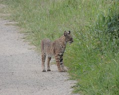 Lynx rufus (Bobcat) (Turtlerangler) Tags: california bobcat lynx sanmateo felidae
