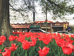 #spring #montclair #nj #tupils #flowers  (ingridub1) Tags: flowers spring nj montclair tupils