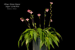 Phragmipedium Hanne Popow 'Sugar' CCM/AOS (Orchidelique) Tags: plant orchid nature award sugar phragmipedium phrag ccm aos besseae ncos hannepopow ncjc schlimii jmorris 20151150 certificateofculturalmerit