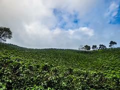 Colombian coffee (felipebeatle) Tags: sky tree green coffee landscape colombia culture risaralda