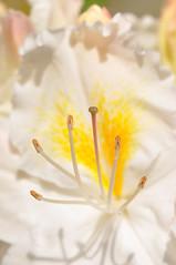 Schneegold (nirak68) Tags: deutschland blossom mai ericaceae blte ger rosenbaum rhododendren weis eutin rhododendronluteum 149366 heidekrautgewchs rhododendroideae schleswigholsteinkreisostholstein lgs2016 2016ckarinslinsede landesgartenschaueutin substategardenshow schneegold
