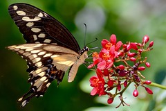Giant Swallow Tail Butterfly (bmasdeu) Tags: tropical giant swallow tail butterfly florida keys largo flutter magical
