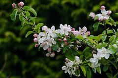 Apple Blossom (warth man) Tags: home wet rain garden droplets raindrops throughawindow appleblossom nikon70300mmvr d7000