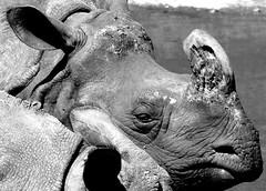 Rhino (heiko.moser) Tags: bw art blancoynegro nature animal canon zoo mono tiere noiretblanc outdoor natur natura nb rhino sw monochrom tierpark schwarzweiss nero animale nahaufnahme tier nashorn schwarzweis blackwihte heikomoser