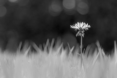 Also available in yellow (Martzimages) Tags: blackandwhite macro grass mono flora bokeh dandelion minimalism wetthebed hmbt