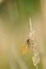 Papillon-Butterfly (steph_tho) Tags: papillon proxi nikon d90nikon 60mmnikkor limousin