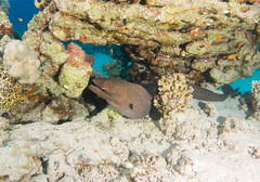 Giant Moray, Gymnothorax javanicus, Dangerous Reef, St. John's Plateau, Red Sea (Jeremy Smith Photography) Tags: redsea scuba diving giantmoray dangerousreef gymnothoraxjavanicus jeremysmith blueotwo jeremysmithphotographycouk stjohnsplateau redseaadventurer