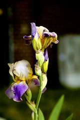 Iris - Arbeitskopie 2 (thmlamp) Tags: canoneos5dmarkiii ef24105mmf4lisusm 45 1050mm 1400sec iso200 iris schwertlilie blte flower