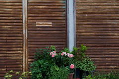 (kasa51) Tags: flower rose japan rusty pottedplant shutter kanagawa tsujido