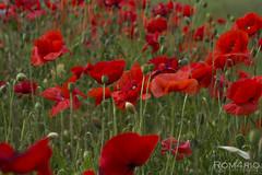 Poppy time (Rom4rio Photography) Tags: plant flower color verde planta nature mac nikon natura poppy campo nikkor fiore rosso pianta papavero allaperto fioritura floare d3100 nikond3100