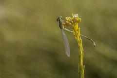 Hanging (jrosvic) Tags: damselfly cartagena caballitodeldiablo erythromma nikond2xs viridulum zigoptero nikon60mm28dmicro