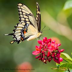 B36C4965 (WolfeMcKeel) Tags: vacation lake butterfly giant keys spring key florida wildlife butterflies national crocodile largo swallowtail refuge nwr 2016 floridakeys2016vacationspring
