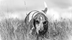 Boo Mono (mejud) Tags: portrait blackandwhite dog mono hound boo basset bassethound