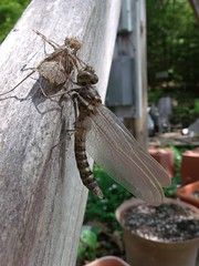 2016_0525Newly-Hatched0002 (maineman152 (Lou)) Tags: nature spring dragonfly maine may naturephotography molting molted naturephoto sloughing newlyhatched sluffing newdragonfly streamcruiserdragonfly