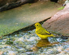 Magical Moment... (ragtops2000) Tags: male nature water forest spring colorful surprise bathing splash wading exciting yellowwarbler