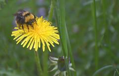 Summer_B-1-Q1606LG (Guyser1) Tags: summer dandelion bumblebee yellowstone microlandscape nikond3200 yellowstonepark westyellowstone