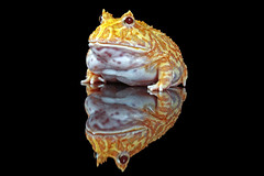 Albino Horned Frog, CaptiveLight, Bournemouth, UK (rmk2112rmk) Tags: uk amphibian frog pacman toad bournemouth hornedfrog ceratophrysornata albinohornedfrog captivelight