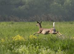 Butt Shot (KvonK) Tags: morning field may running doe deer fleeing 2016 nikond500 kvonk nikon200to500mm