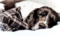 Bed Rest....... (Missy Jussy) Tags: portrait dog pets monochrome animal canon mono sad mollie spaniel springerspaniel petportrait poorly canon50mm englishspringer cannon600d