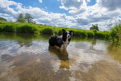 Piper (Jan_Lewandowski) Tags: blue sky dog green dogs water beautiful animal clouds river happy outdoor poland polska bluesky pies psy woda 2016 rzeka niebo biaystok supral