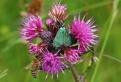 Moth + Bee (Hugo von Schreck) Tags: macro butterfly insect moth bee falter makro insekt schmetterling biene motte onlythebestofnature tamron28300mmf3563divcpzda010 canoneos5dsr hugovonschreck