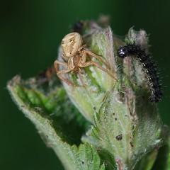 predator and prey? (marsupium photography) Tags: edinburgh scotland insect macro hermitage