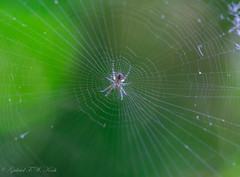 Center of Her Universe (Gabriel FW Koch) Tags: spider insect animal outdoor wild wildlife webbing sticky eightlegs closeup bokeh 100mm nature sun sunlight natural green white details beauty intricate eos dof canon