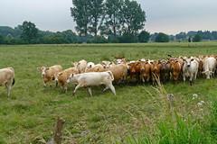 Herdentrieb - 2016 - 0010_Web (berni.radke) Tags: cows bovine khe rinder herde herdinstinct herdentrieb