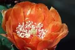 Cactus flower 4 (gorrarroja) Tags: espaa flower macro valencia spain flor macrophotography macrofotografa