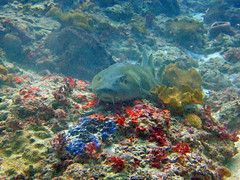 Brown-banded Bamboo Shark (9) (Petter Thorden) Tags: indonesia diving