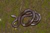 Coronella brachyura (Chaitanya Shukla) Tags: macro maharashtra pune colubridae snakesofindia typicalsnakes indiansmoothsnake coronellabrachyura reptilesandamphibiansofindia