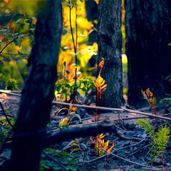 Concert de Mai (Denis Collette...!!!) Tags: canada colour forest lumière may mai renaissance couleur forêt provincedequébec sousbois renouveau img2412 deniscollette nouvellespousses comtédeportneuf villedepontrouge
