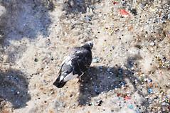 Il carnevale degli animali - The Carnival of the animals. (sinetempore) Tags: light white snow bird pigeon confetti uccelli neve bianco piccione luce coriandoli ilcarnevaledeglianimali mygearandme thecarninaloftheanimals