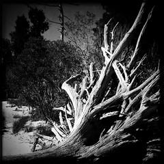 Toppled (southpaw20) Tags: blackandwhite bw roots northcarolina driftwood squareformat goosecreekstatepark beaufortcounty pamlicoriver southpaw20 iphone4 iphonecamera johnslens hipstamatic blackeyssupergrainfilm
