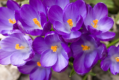 Cheers (Shotaku) Tags: flowers winter flower macro closeup bulb garden crocus bulbs blooms 2012 crocuses inbloom
