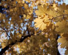 The yellow sky (Alexey Subbotin) Tags: autumn kodakporta160nc nikonf100 nikkoraf50mmf14d autumnleaves yellow sky russia moscow color