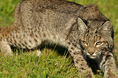 Circling Her Prey (Jen Joynt) Tags: bobcat wildcat marinheadlands ggnra lynxrufus parkpic