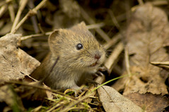 Bank Vole (Chris McLoughlin) Tags: nature wildlife rspb fairburnings tamron70300mm bankvole chrismcloughlin sonya580