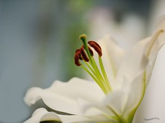 heavenly........ (bonnie5378) Tags: flower lily ngc stamens marco macronaut canadianfemalephotographer qualitypixels photosofqualitytosmileabout paololivornosfriends naturescarousel naturallywonderful anaturecanvas floraaroundtheworld mar2012