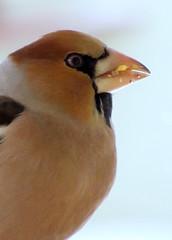 kukoricázás / eating corn (debreczeniemoke) Tags: winter portrait bird garden kert tél portré hawfinch eatingcorn coccothraustescoccothraustes madár meggyvágó canonpowershotsx20is kukoricázás