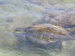 Turtle Off Ke'e Beach (jhudson81) Tags: ocean usa beach hawaii honeymoon unitedstates turtle hanalei keebeach hawaiibeach haenastatepark