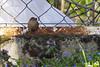 Eurasian Wren (Troglodytes troglodytes) (Panayotis1) Tags: nature birds canon aves greece pro usm 300 af troglodytes animalia 400mm passeriformes kenko troglodytestroglodytes 14x chordata troglodytidae φύση eurasianwren 560mm canonef400mmf56lusm dgx imathia aggelochori πουλιά ημαθία τρυποφράχτησ αγγελοχώρι kenkopro300afdgx14x