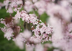 begin. (manyfires) Tags: pink flowers oregon portland spring bokeh branches blossoms plum bloom pacificnorthwest pdx plumtree thisimageiscurrentlyonmydesktop everytimeiseeitigetdrawnintoit