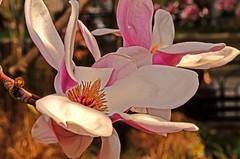 nikon d5100 macro: sunlit and shaded magnolias up close ----------- viewed 652x (norlandcruz74) Tags: pink flowers macro closeup lens march spring flora nikon blossoms cruz magnolia nikkor dslr vr afs 2012 dx 18200mm norland d5100