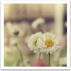 Solo per la Titti :) (in eva vae) Tags: two white yellow closeup daisies canon vintage petals spring soft dof bokeh pollen squared creamy lightroom inevavae mygearandme flickrstruereflection1