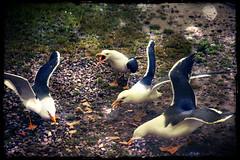 Twittering (Stezzer) Tags: sea bird birds feeding gulls twittering twiiter